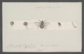 Oncodes - Print - Iconographia Zoologica - Special Collections University of Amsterdam - UBAINV0274 038 10 0008.tif