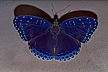 Open wing position of Stibochiona nicea Gray, 1846 – Popinjay WLB DSC 4016.jpg