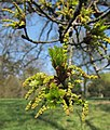 Opening of leaves and flowers of the old Summer oak at Park Velp - panoramio.jpg
