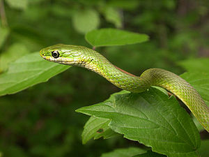 The Green Snake and the Beautiful Lily - Image: Opheodrys aestivus PCCP20030524 0823B