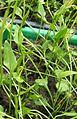 Ophioglossum lusitanicum.jpg