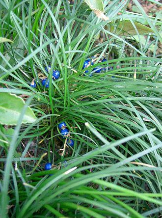 Ophiopogon japonicus - Image: Ophiopogon japonicus 1