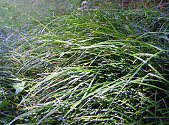 Ophiopogon japonicus patch.jpg
