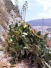 Opuntia ficus-indica2.jpg