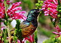 Orange-breasted Sunbird, Anthobaphes violacea (8419589790).jpg