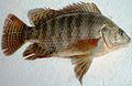 Oreochromis niloticus Egypt.jpg
