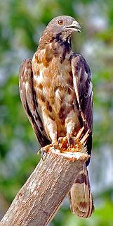Crested honey buzzard Species of bird