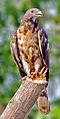 Oriental Honey Buzzard (Pernis ptilorhynchus) Photograph By Shantanu Kuveskar.jpg