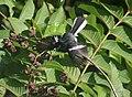 Oriental Magpie Robin- Male basking in the Sun I IMG 5960.jpg