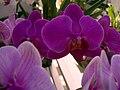 Orquideas na estufa do Solar do Jambeiro - panoramio.jpg