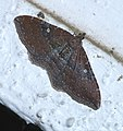 Orthonama obstipata P1560742a.jpg