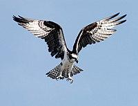 OspreyNASA.jpg