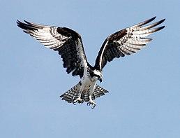 Typické složení křídel orlovce říčního pří lovu