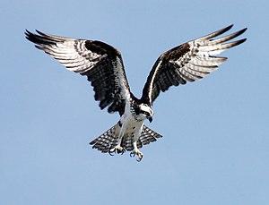 Symbols of Nova Scotia - Osprey