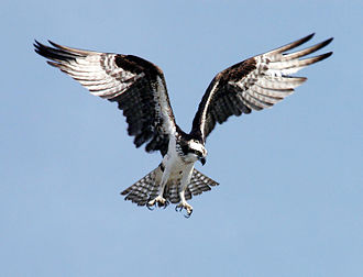 Lake Norman - A wild osprey spreads its wings
