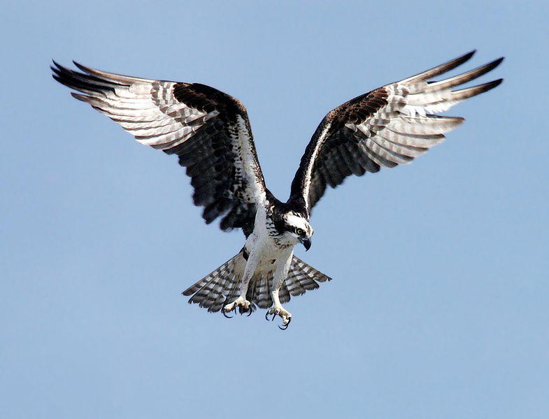 An osprey in flight. [Source: Wikimedia Commons]