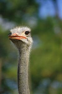 Ostrich140.jpg