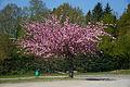 Oud-Heverlee Prunusboom in bloei.jpg
