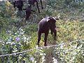 Ovejas negras en el estado de Veracruz, México 02.jpg