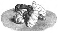 Oxalis crénelée Vilmorin-Andrieux 1883.png