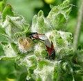 Oxycarenus lavaterae - Flickr - gailhampshire (3).jpg
