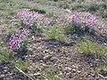 Oxytropis sericea (7167282759).jpg