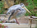 Pelecanus rufescens (at Amneville's Zoo)