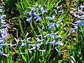 P1130470 Hyacinthus orientalis Common hyacinth (Hyacinthaceae).JPG