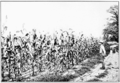 PSM V73 D408 Four course of corn oats wheat and hay.png