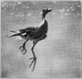 PSM V82 D523 Water hen rising to the surface.png