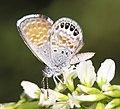 PYGMY-BLUE, WESTERN (Brephidium exile) (8-2-12) san rafael grassland, scc, az (9424886914).jpg