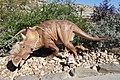 Pachyrhinosaurus model Royal Tyrrell 1.jpg