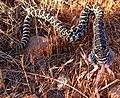 Pacific rattlesnake (Crotalus Oreganus) juvenile eating (14232058164).jpg