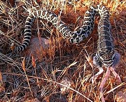 Evolution of snake venom - Wikipedia