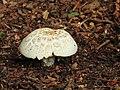 Paddenstoel mushroom.JPG