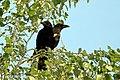 Pair of Corvus corone (28030350664).jpg
