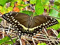 Palamedes Swallowtail (5067386339).jpg