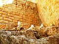 Palestine, Mar Saba Greek Orthodox Monastery (white pigeons on the rocks).jpg