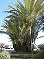 Palmtree in SanRemo.jpg