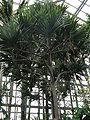 Pandanus utilis2.jpg