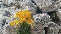 Papavero alpino.jpg