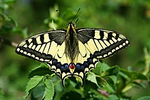 Papilio Machaon JPG1a.jpg