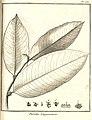 Paralea guianensis Aublet 1775 pl 231.jpg