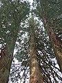 Parc Fenestre (Several Sequoiadendron giganteum).jpg