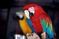 Parrots, Madeira - Jul 2012.jpg