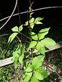 Parthenocissus inserta.jpg