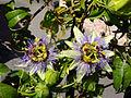 Passiflora caerulea. Mburucuyá (14524704315).jpg