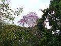 Pau D'arco Rôxo no dia do Equinócio setembro 2008 - panoramio.jpg