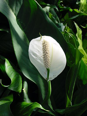 This photograph is of a peace lilly in the Spa...