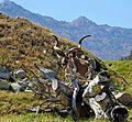 Peek-a-boo Kudu, Living Desert, CA 3-15 (24523328725).jpg